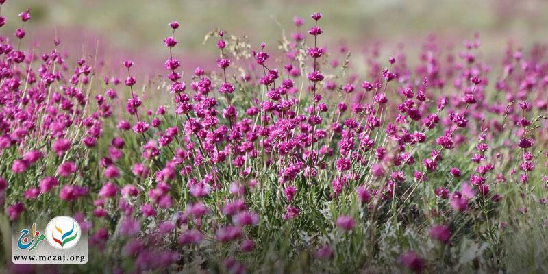 با گل ارونه بیشتر آشنا شویم